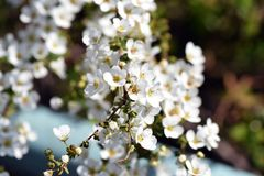 Thunberg`s meadowsweet. The sight that the pure white flowers of Thunberg`s meadowsweet are shaking in the spring breeze makes the viewer feel very happy Royalty Free Stock Photos