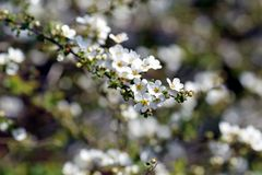 Thunberg`s meadowsweet. The sight that the pure white flowers of Thunberg`s meadowsweet are shaking in the spring breeze makes the viewer feel very happy Stock Images