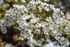 Thunberg`s meadowsweet. The sight that the pure white flowers of Thunberg`s meadowsweet are shaking in the spring breeze makes the viewer feel very happy Stock Image
