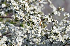 Thunberg`s meadowsweet. The sight that the pure white flowers of Thunberg`s meadowsweet are shaking in the spring breeze makes the viewer feel very happy Royalty Free Stock Image