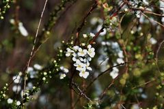 Thunberg spirea. White flowers decorate the Soring `Thunberg spirea Royalty Free Stock Photography