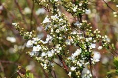 Thunberg spirea. White flowers decorate the Soring `Thunberg spirea Stock Photo