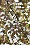 Thunberg spirea. White flowers decorate the Soring `Thunberg spirea Royalty Free Stock Image