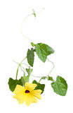 Thunbergia Stock Images