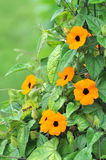 Thunbergia Alata Stock Photography