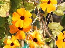 Thunbergia alata, Black-eyed Susan vine Stock Photo