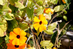 Thunbergia alata, Black-eyed Susan vine Royalty Free Stock Photos