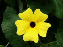 Thunbergia alata, common name Black-eyed Susan Stock Photo