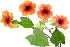 Thunbergia Alata Flower Royalty Free Stock Image