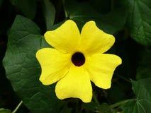 Thunbergia alata, gemeiner Black-eyed Namenssusan Stockfoto