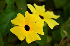 Black Eyed Susan Vine/ Thunbergia Portrait. Thunbergia alata, with its bright yellow or orange flowers, is commonly known as the Black-eyed Susan vine. It is one royalty free stock photos