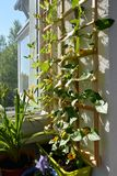 Thunbergia with beautiful orange flowers grows in container near wooden trellis for climbing plants. Small urban garden. On the balcony royalty free stock photos