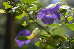 Thunbergia erecta herbaceous perennial flowering climbing plant, violet purple flowers in bloom with yellow center, green leaves stock photo