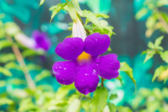 Thunbergia erecta, tropical flowering plant. Royalty Free Stock Photography