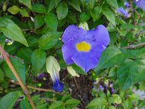 Purplish blue flower of a plant of the genus Thunbergia stock images