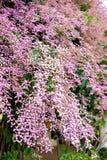 Thunbergia grandiflora, лоза часов Бенгалии, труба Бенгалии Стоковое Изображение