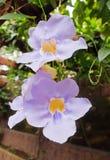 Thunbergia Grandiflora Stockfoto