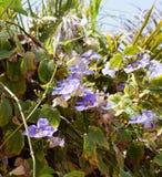 Thunbergia grandiflora blossom. Beautiful blossom of Thunbergia grandiflora violet flowers Royalty Free Stock Images