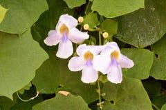 Thunbergia grandiflora Royalty Free Stock Image
