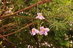 Thunbergia Grandiflora, immergrüne Rebe im Familie Acanthaceae Stockfotos