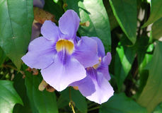 Thunbergia grandiflora blooms Royalty Free Stock Photo