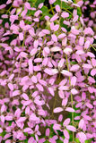 Thunbergia grandiflora, videira do pulso de disparo de Bengal, trombeta de Bengal Foto de Stock