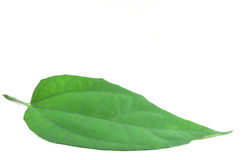 Thunbergia laurifolia Linn. The scientific name is Thunbergia laurifolia Linn Stock Images