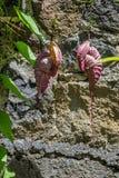 Thunbergia mysorensis obraz stock