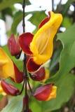 Thunbergia mysorensis Acanthaceae Lizenzfreie Stockfotos
