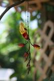 Thunbergia Mysorensis-Acanthaceae Stockfotos