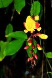 Thunbergia mysorensis flower Royalty Free Stock Image