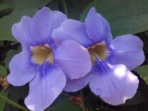 Thunbergia roxo bonito grandiflora Imagem de Stock Royalty Free
