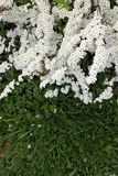 Thunbergii Spiraea γνωστό συνήθως ως spiraea αναπνοής του μωρού στοκ εικόνα