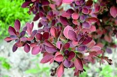 Thunbergs barberrybuske i vår eller sommar arkivfoto