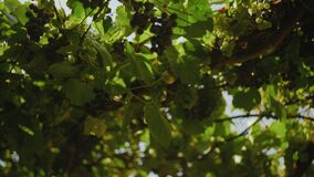 Bunches of Grapes Hang Down Against the Face of blue sky
