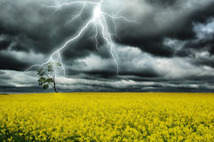 Thunderstorm. Under alone tree in yellow field Stock Images