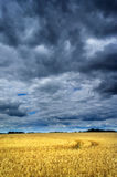 Thunderstorm  above wheat field. Stock Photos