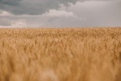 Thunderstorm hurricane clouds field agricultural crops wheat stock photography