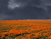 Thunderstorm Poppy Field Royalty Free Stock Photos