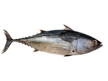 Thunfisch Lizenzfreies Stockfoto