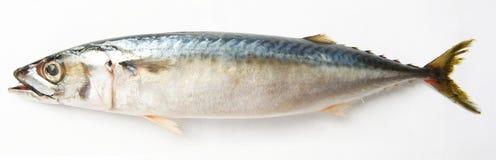 Thunfische Stockbild