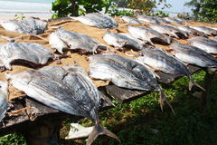 Thunfischtrockner in der Sonne Sri Lanka Stockfoto