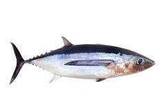 Thunnus Alalunga dei pesci del tonno bianco Immagini Stock