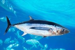 Thunnus Alalunga dei pesci del tonno bianco Immagine Stock Libera da Diritti