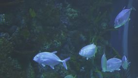 Thunnus in saltwater aquarium stock footage video stock video footage