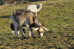 Thuringian forest goat Royalty Free Stock Photos