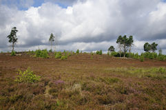 Thursley Common. Heather Landscape with Scots Pine Trees Royalty Free Stock Image