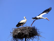 Thus far expensive... Two storks Stock Images