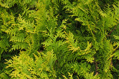 Thuya. Arborvitae branches filled whole background Royalty Free Stock Photography