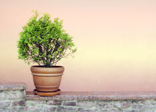 Thuya in a Flowerpot. A vibrant evergreen thuya in a flowerpot Royalty Free Stock Photography